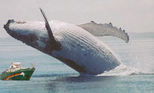 Greenpeace blokirao brod pun kitovskoga mesa