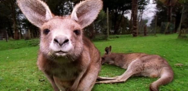 Klokan nokautirao australskog političara
