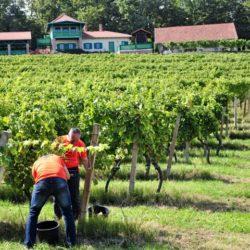 Feričanci: vinsko odredište koje ne smijete zaobići
