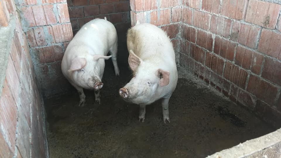 Otvorena je farma tovnih svinja, krmača i prasadi