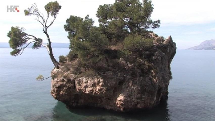 Zaštita najstarijeg bora na stijeni