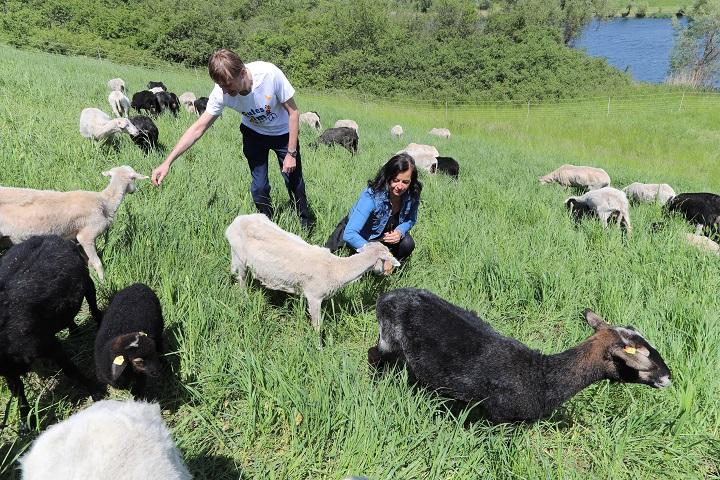 """Travnate površine u Beču i ove godine """"kose"""" ovce"""